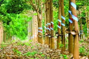 Bán đất thổ canh, đất vườn, đất trồng cao su, trồng điều