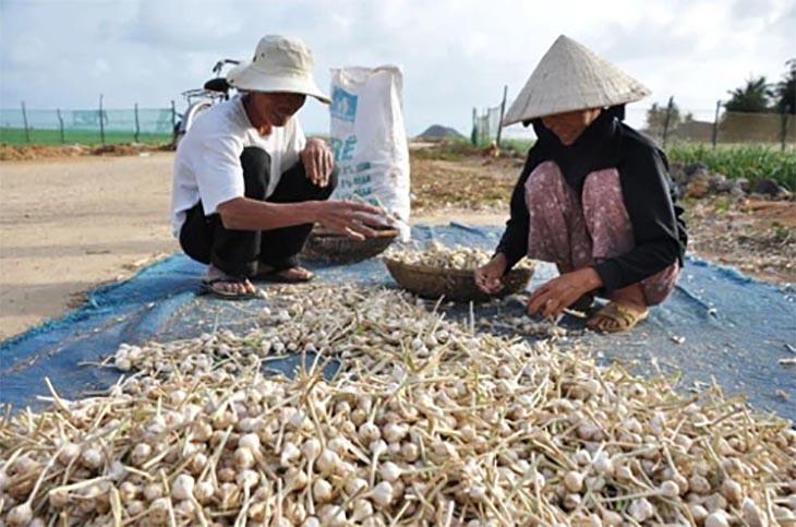 Giá tỏi Lý Sơn chính gốc, cung cấp tỏi lý sơn xuất khẩu chất lượng tốt