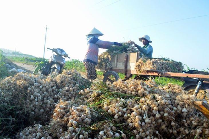 Tỏi Lý Sơn chính gốc ở Quảng Ngãi hiệnlà vua tỏi Việt Nam